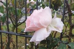 Rose mit Regentropfen